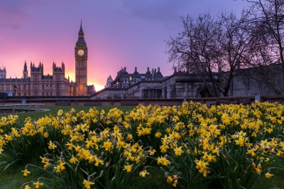 Spring daffodils in parliament square